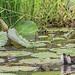 GALLINELLA FRA LE FOGLIE    ----    MOORHEN BETWEEN PLANTS by Ezio Donati is 