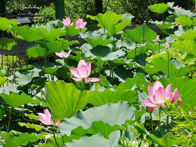 台北一日遊景點推薦植物園荷花蓮花池 (5)