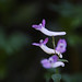 Corydalis decumbens by SukeruPenta