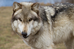dog breed, animal, canis lupus tundrarum, west siberian laika, dog, czechoslovakian wolfdog, gray wolf, east siberian laika, norwegian elkhound, tamaskan dog, greenland dog, northern inuit dog, wolfdog, close-up, saarloos wolfdog, native american indian dog, carnivoran, wildlife,