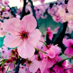 #pink #sakura #Nagasaki