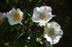blossom, shrub, camellia sasanqua, flower, yellow, plant, rosa rubiginosa, flora, rosa multiflora, rosa pimpinellifolia, petal,