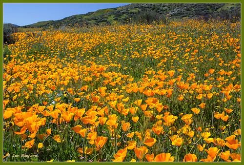 california unitedstates hemet californiapoppy