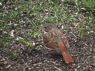 IMG_0801-1 Fox Sparrow