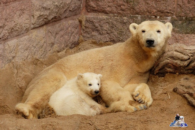 Eisbär Nachwuchs Zoo Rostock 30.03.2015  235