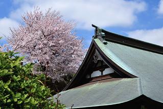 Temple with Cherry : 弘仁山薬王寺本堂