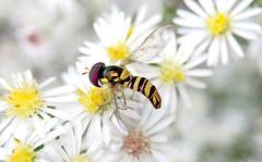 Common Oblique Syrphid Fly (Allograpta obliqua); Mount Rainier, PGC, Maryland; Oct 2, 2014