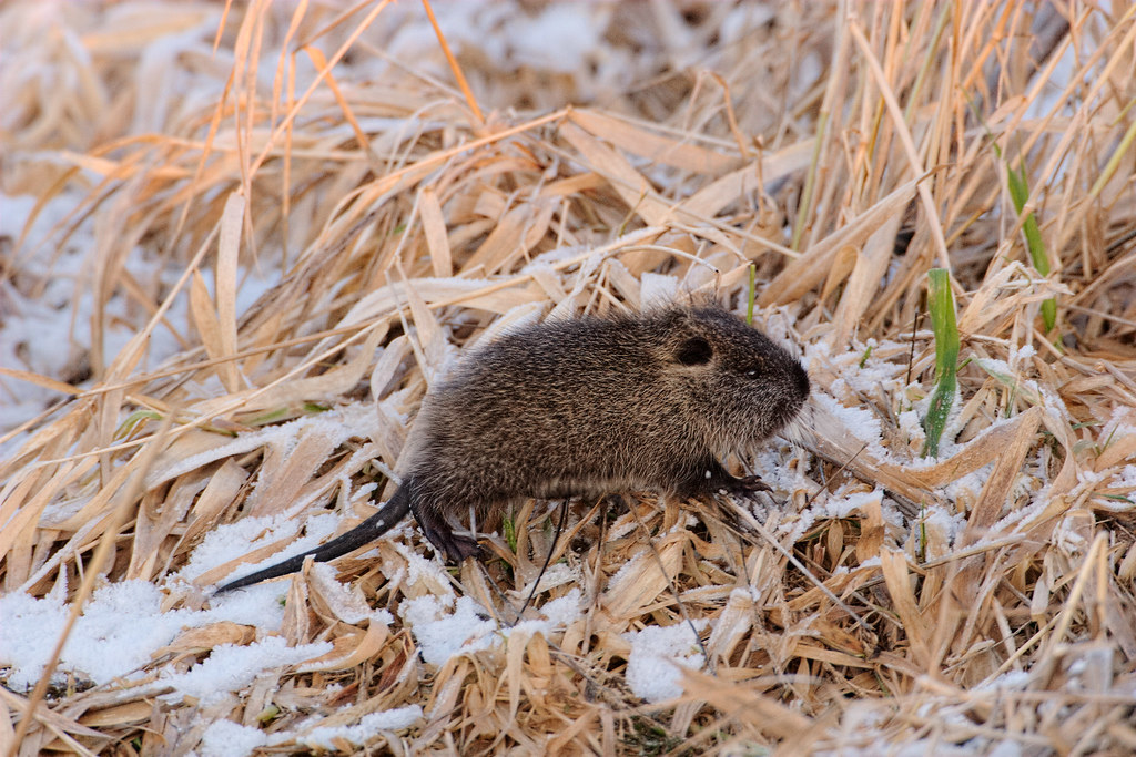 A baby nutria walks across frost and grass at the end of a cold winter's day.