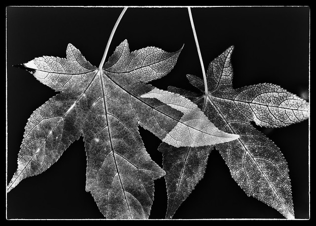 IMG_2144 Sweet Gum Negative
