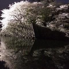 sakura lit up @ hikone castle #sakura #shiga #hikone #桜#彦根#滋賀
