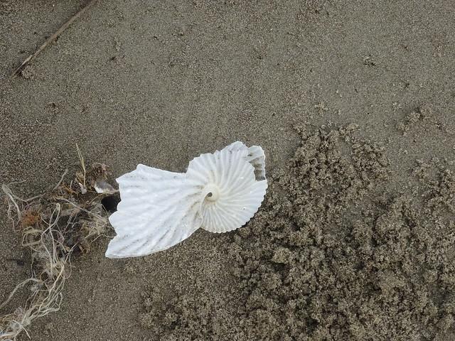 苗栗龍港扁船蛸