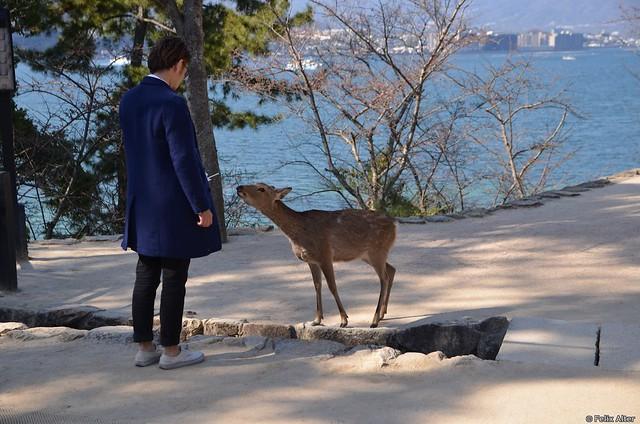 DSC_2951 Hungriger Hirsch in Miyajima