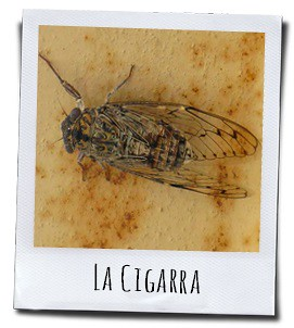 De cicade, een klein insect uit warme zuiderse streken