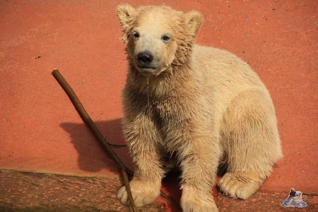 Eisbär Fiete im Zoo Rostock 04.05.2015 113