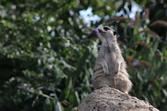 London Zoo - Meerkat