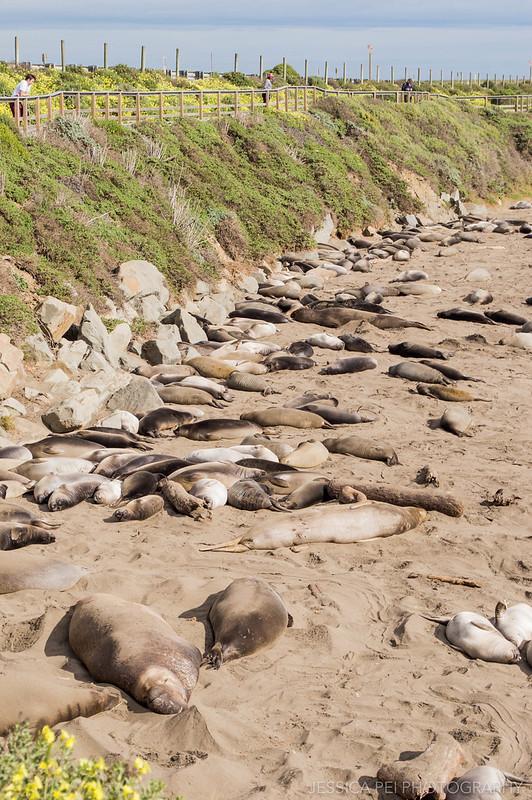 Elephant Seal Vista Point California
