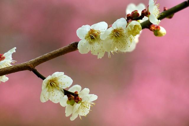 ウメ/Prunus mume