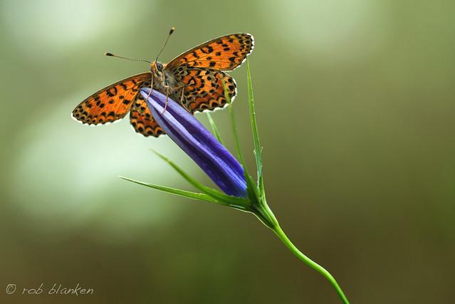 Lesser Spotted Fritillary (Melitaea trivia, toortsparelmoervlinder)