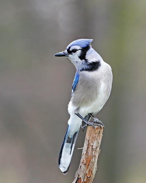Blue Jay 20d_9525