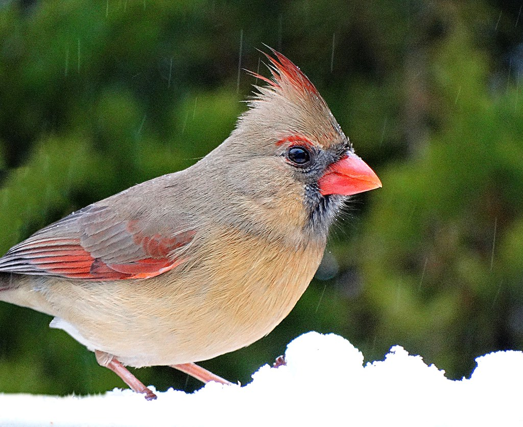 Female Cardinal on Snow
