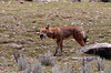 Ethiopian Wolf, Sanetti