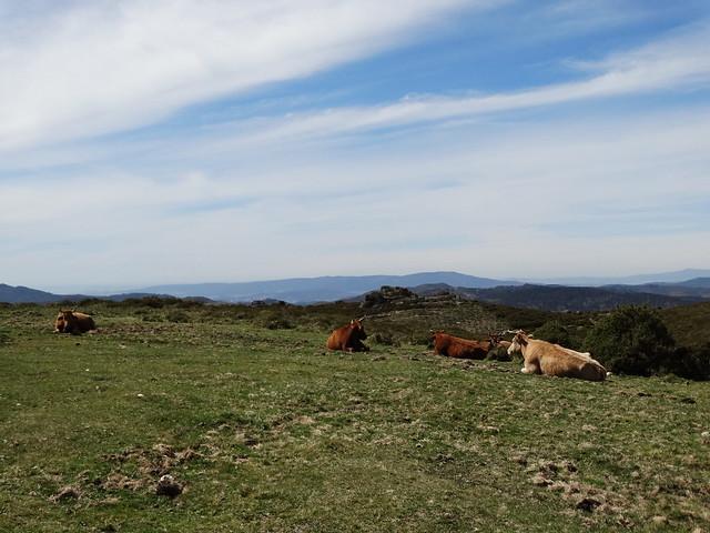 Vacas en la serra do Cando en A Lama