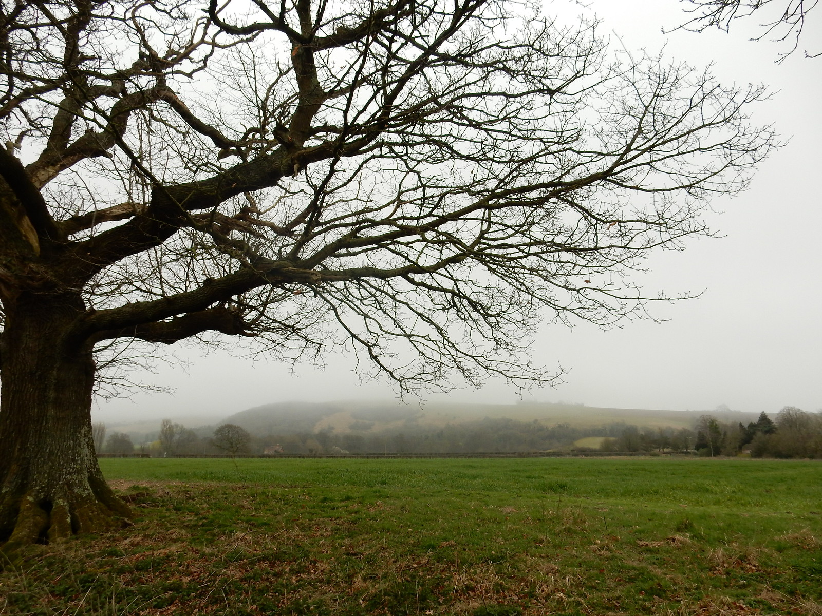 Tree with downs in distance Hassocks to Lewes
