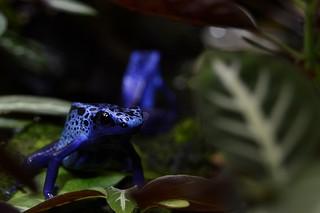 Blue Poison Frog (Dendrobates tinctorius) or Dyeing Poison Frog _DSC0073