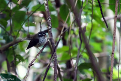 Streaked Fantail