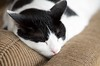 Domino the Sleepy Kitty