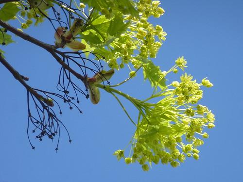 blue tree spring maple blossom blau blüte baum frühling ahorn