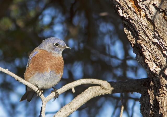 Western Bluebird 7d_0081