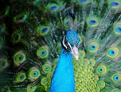 Peacock, Wentworth Farm