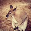Hey, it's a wallaby! #zoo