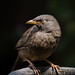 Jungle babbler by asheshr