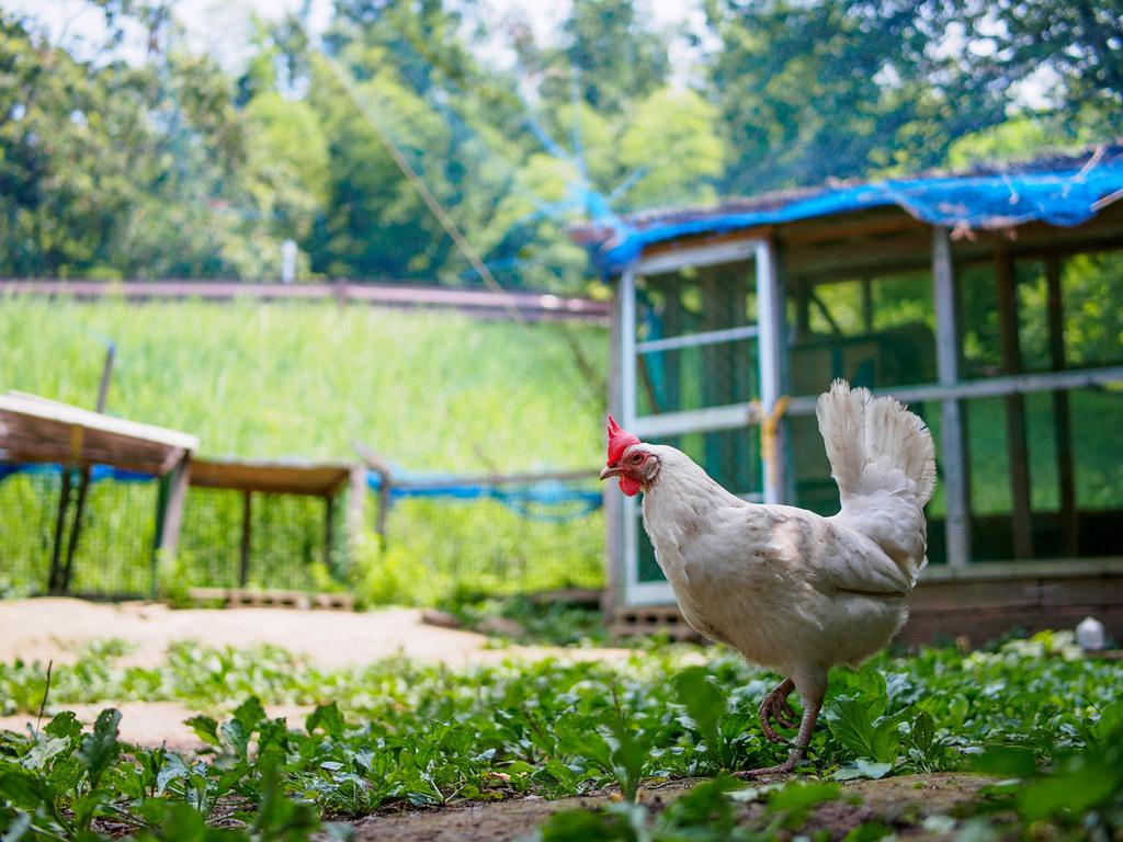 鶏小屋と鶏