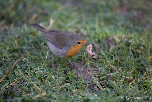 Rougegorge familier Erithacus rubecula - European Robin : Michel NOËL © 2015-6125.jpg
