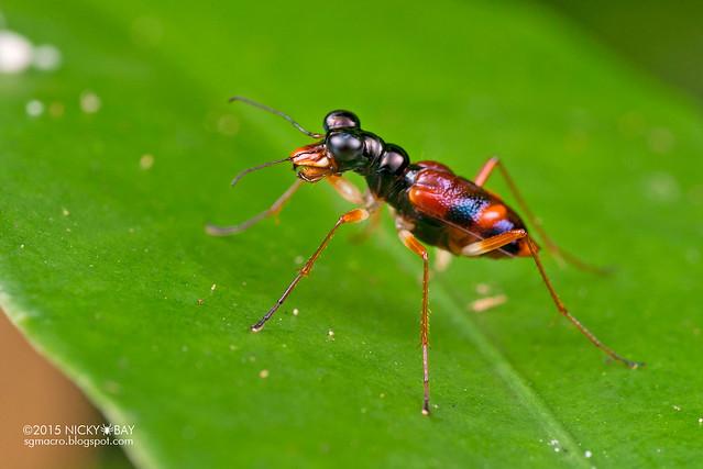 Tiger beetle (Cicindelinae) - DSC_5190