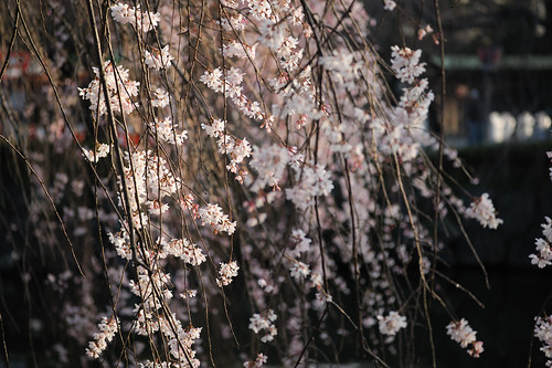Sakura Lighting