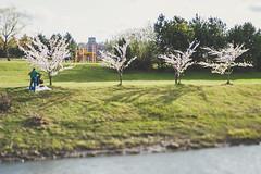 Cherry blossoms   Kaunas, Lithuania