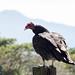 Turkey Vulture (Cathartes aura) por Chub G's M&D