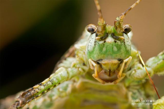 Moss katydid (Tettigoniidae) - DSC_5495
