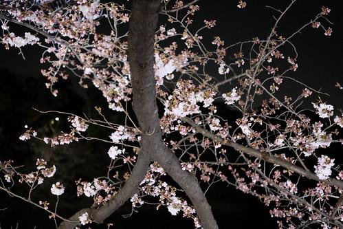 Sakura night moat 03
