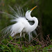 Great Egret Displaying by Anna Wrobel