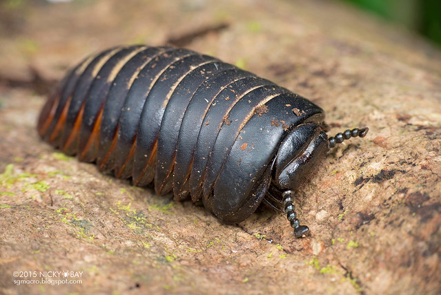 Giant pill millipede (Sphaerotheriida?) - DSC_3964