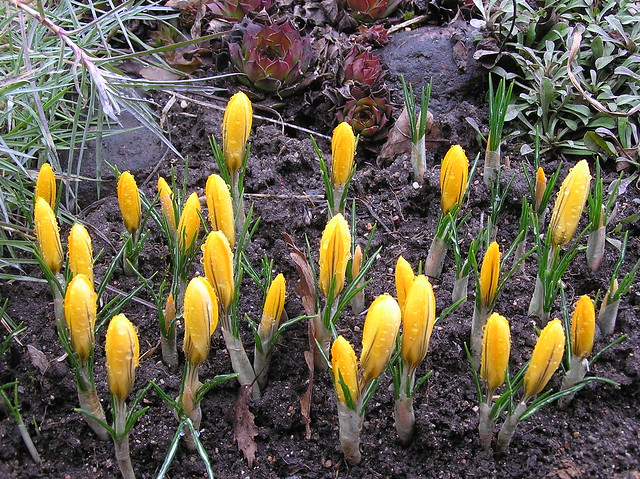 Crocus 'Yellow Mammoth'