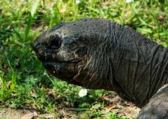 animal, turtle, reptile, fauna, wildlife, tortoise,
