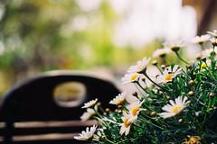 marguerite [Leucanthemum vulgare]