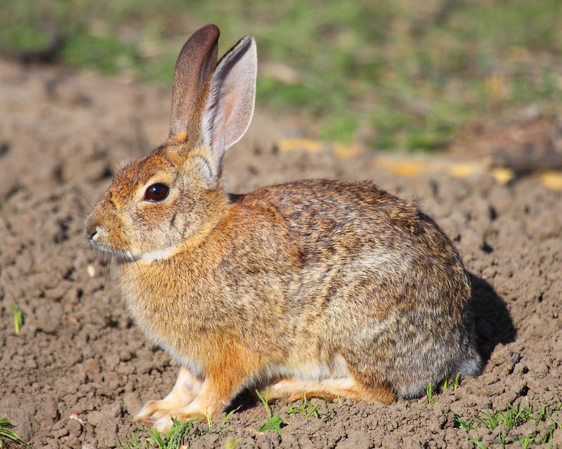 IMG_8555 Cottontail Rabbit