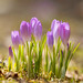 Hello Spring crocuses! by Nancy Rose